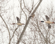 8th Feb 2018 - Common Mergansers in flight by the woods