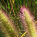 Swamp Foxtail