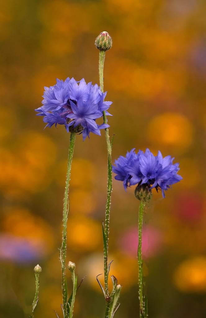Cornflowers in a cottage garden by maureenpp