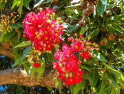 9th Feb 2018 - Flowering Gum Tree