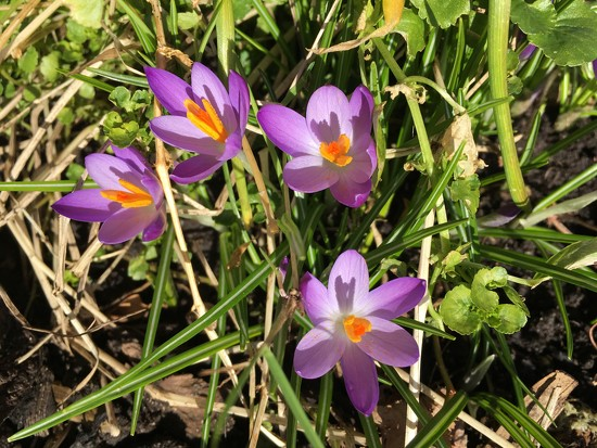Crocuses by 365projectmaxine
