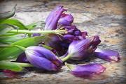 9th Feb 2018 - Last of my Tulips!