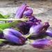 Last of my Tulips!