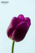 9th Feb 2018 - Purple tulip