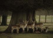 9th Feb 2018 - Deer under a linden tree