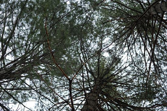 Pine Trio by loweygrace