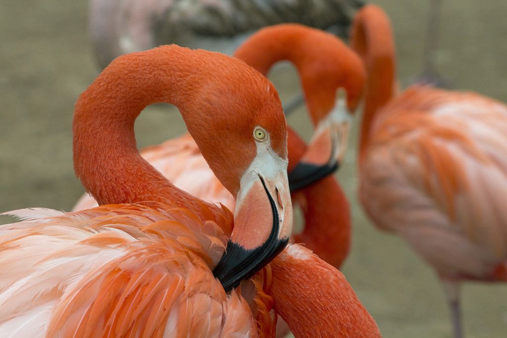 Preening for Flamingo Friday by gaylewood