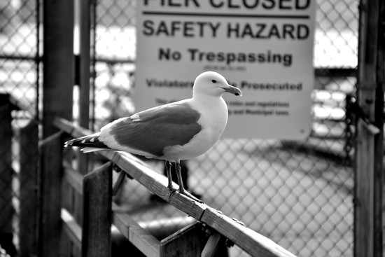 Seagull Hazard on 365 Project