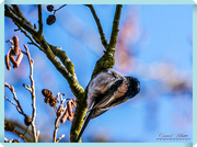 10th Feb 2018 - Long-tailed Tit