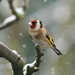 SNOWY GOLDFINCH by markp