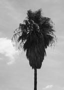 10th Feb 2018 - Palm Tree