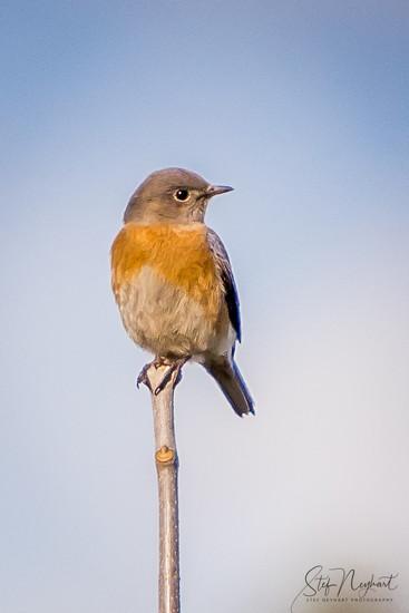 Western Bluebird by stefneyhart