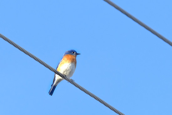 Bluebird on a wire by pamgleason