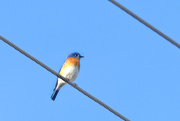 8th Feb 2018 - Bluebird on a wire