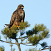 Red Tailed Hawk ( I think)