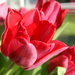 Love my Red tulips
