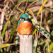Kingfisher-hand held.