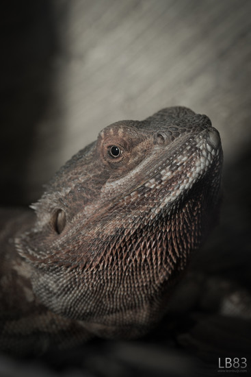 Bearded dragon by leonbuys83