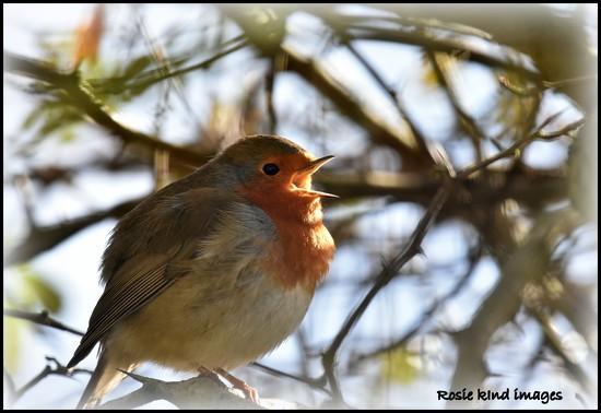 Singing robin by rosiekind