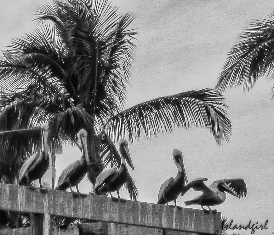 Pelicans on the Pier  by radiogirl
