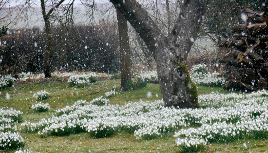 Snowdrops in the snow.... by snowy