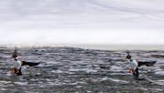 11th Feb 2018 - Pair of Goldeneyes Landing