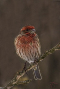 9th Feb 2018 - Purple Finch (My Best Side)