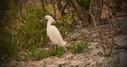11th Feb 2018 - Snowy Egret on the Rock Pile!