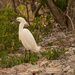 Snowy Egret on the Rock Pile!