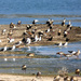 Gulls, Egyptian Geese and Cormorants .....