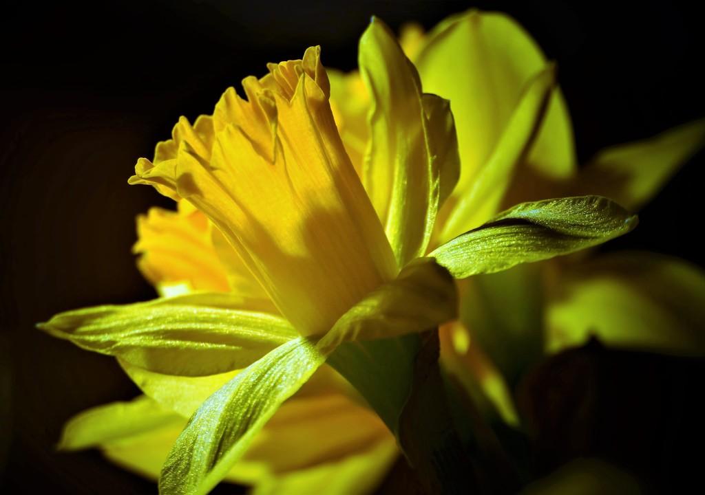 Daffodil in the Spotlight by carole_sandford