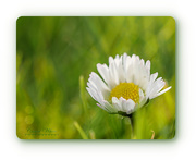 12th Feb 2018 - Defiant Daisy,Braving The Icy Cold Weather