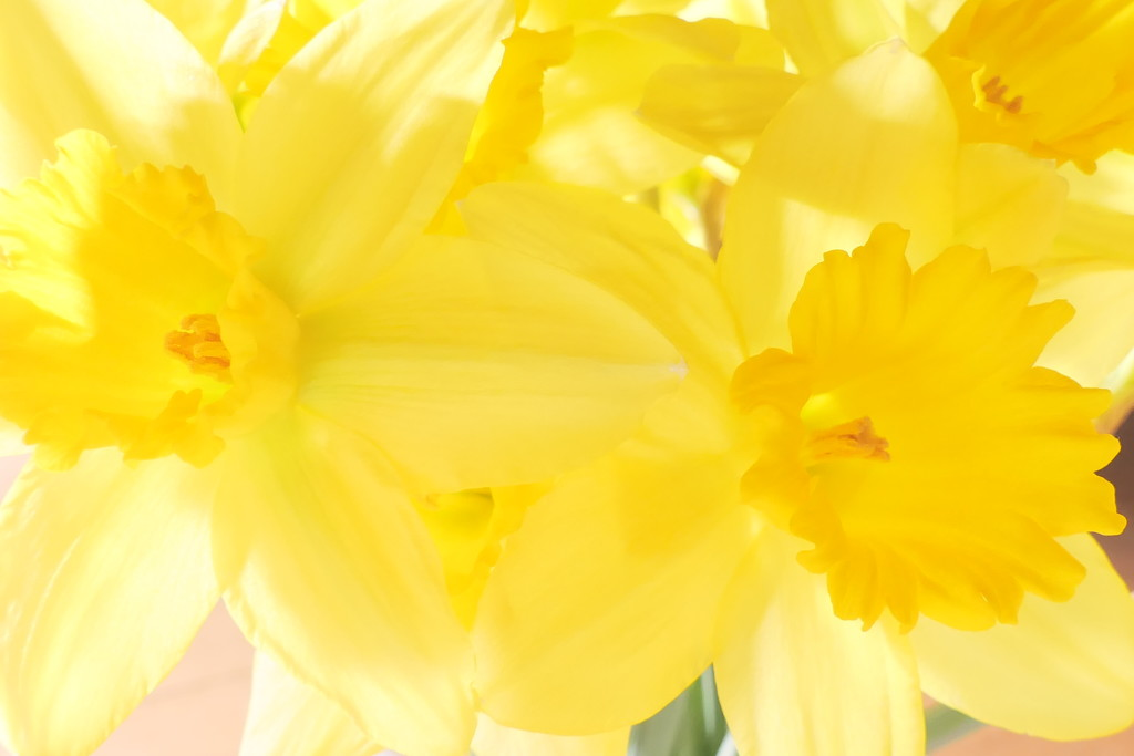 ....A Host of golden Daffodils by carole_sandford