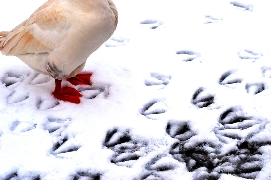 goose footprints by christophercox
