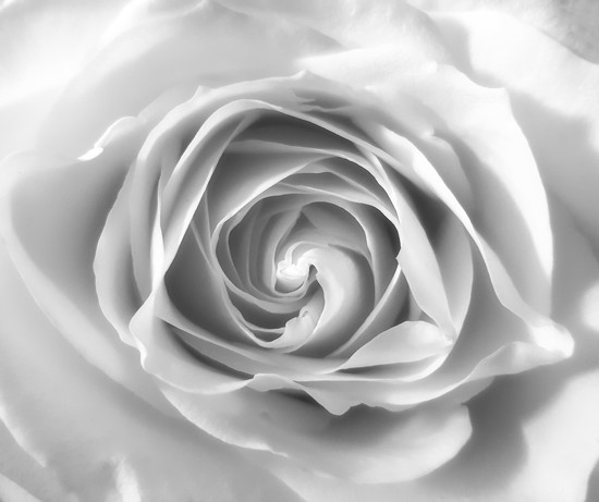 Birthday rose... by m2016