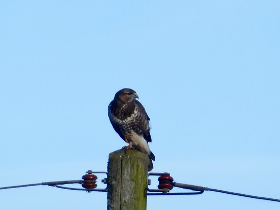 A Buzzard on a Post by susiemc