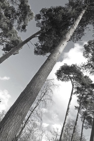 Tall Trees by helenhall