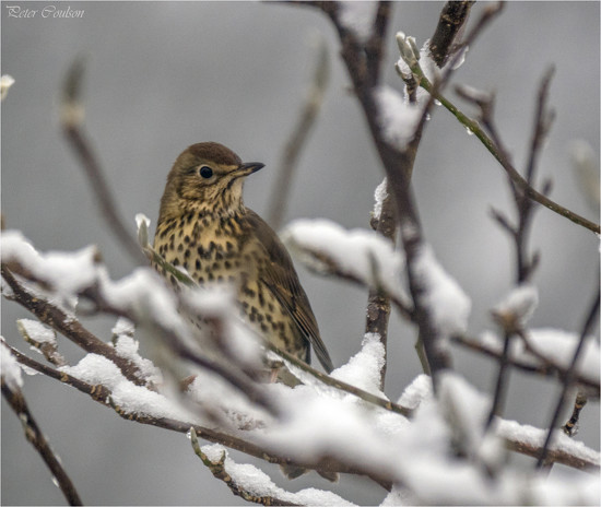 Song Thrush by pcoulson