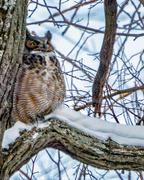 12th Feb 2018 - Great Horned Owl Portrait