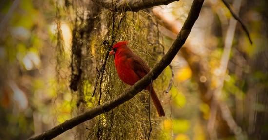 Mr Cardinal Posing Very Nicely! by rickster549