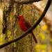 Mr Cardinal Posing Very Nicely!