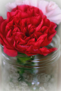 12th Feb 2018 - Carnation in a Jar
