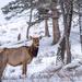 Elk in the winter
