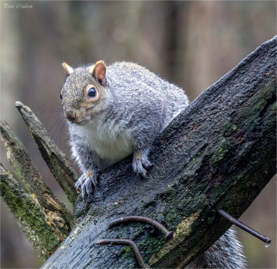 Grey Squirrel by pcoulson