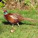 Mr Pheasant Came Back
