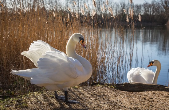 Swans by shepherdmanswife