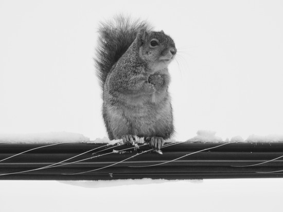 squirrel on a wire by amyk