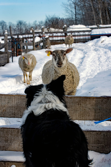 Through the Eyes of a Border Collie by farmreporter