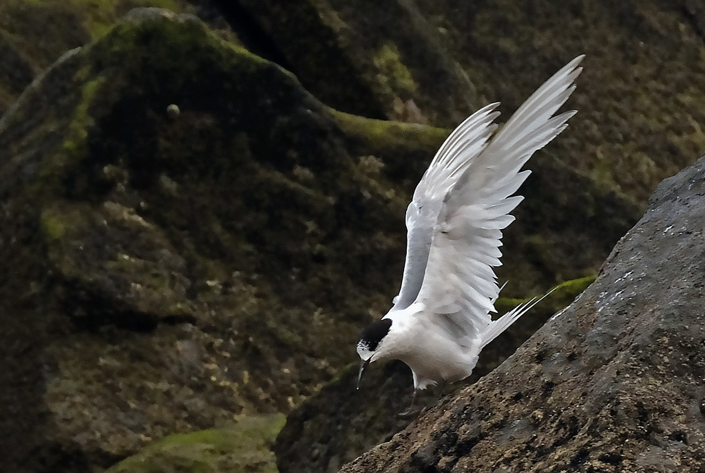 Full stretch - white fronted tern showing its wingspan by maureenpp