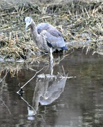 13th Feb 2018 - Great blue heron fishing.